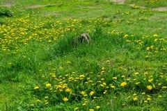 Flores amarelas do dente-de-leão Foto de Stock