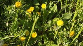 Flores amarelas do dente-de-leão na grama verde filme