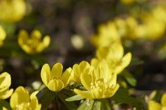 Flores amarelas do Eranthis Fotografia de Stock