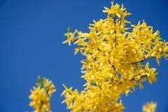 Flores amarelas do forsythia de encontro ao céu azul imagem de stock