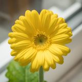 Flores amarelas do gerbera, Rottingdean, East Sussex, Reino Unido foto de stock