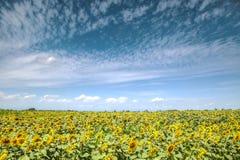 flores amarelas do girassol no fundo do céu azul fotos de stock