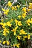 Flores amarelas do gorse imagens de stock royalty free