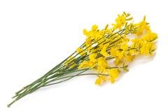 Flores amarelas do gorse foto de stock