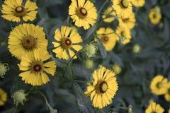 Flores amarelas do jardim com núcleo marrom foto de stock
