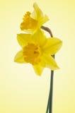 Flores de Jonquil Imagens de Stock Royalty Free