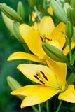 Flores amarelas do lírio fotografia de stock