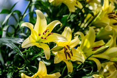 Flores amarelas do lírio Foto de Stock