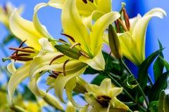 Flores amarelas do lírio Fotos de Stock Royalty Free