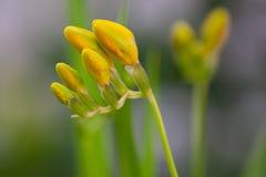 Flores amarelas do lírio, fotografadas quando não foram florescidos ainda inteiramente imagem de stock