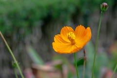 Flores amarelas do lanceolata lança-com folhas do Coreopsis do coreopsis no jardim fotos de stock
