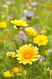 Flores amarelas do Marguerite fotos de stock royalty free