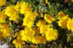 Flores amarelas do oleracea de Portulaca do purslane comum imagem de stock royalty free