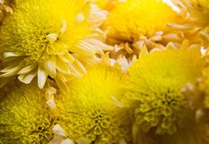 Flores amarelas do outono Crisântemos pequenos fotos de stock