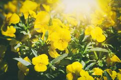 Flores amarelas do pansy Imagens de Stock