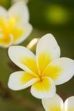 Flores amarelas do Plumeria Imagem de Stock
