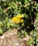 Flores amarelas do protea em um arbusto Fotografia de Stock