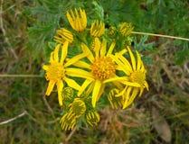 Flores amarelas 1 do Ragwort Fotografia de Stock Royalty Free