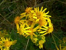 Flores amarelas 2 do Ragwort Imagens de Stock
