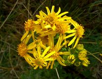 Flores amarelas 3 do Ragwort Imagens de Stock