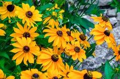 Flores amarelas do rudbeckia Foto de Stock Royalty Free