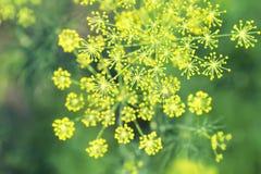Flores amarelas do tempero da erva-doce que cresce em uma cama do verde Fotografia de Stock Royalty Free
