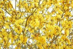 flores amarelas do texter Fotos de Stock Royalty Free