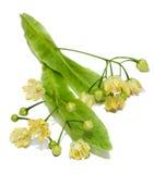 Flores amarelas do Tilia, folhas do verde Imagens de Stock Royalty Free