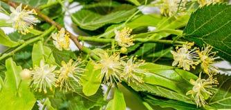 Flores amarelas do Tilia, folhas do verde Foto de Stock
