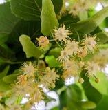 Flores amarelas do Tilia, folhas do verde Fotografia de Stock