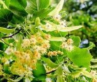 Flores amarelas do Tilia, folhas do verde Fotos de Stock