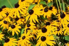 Flores amarelas do zinnia Foto de Stock