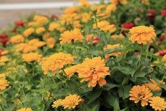 Flores amarelas do zinnia no jardim Fotografia de Stock