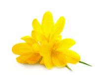 Flores amarelas dos açafrões/mola isoladas foto de stock royalty free