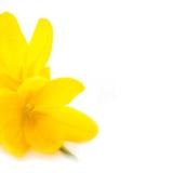 Flores amarelas dos açafrões/mola/macro Fotos de Stock