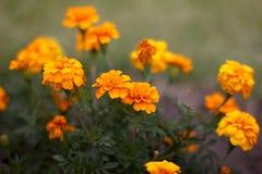 Flores amarelas dos cravos Imagem de Stock Royalty Free