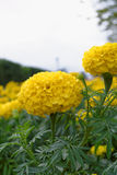 Flores amarelas dos cravos-de-defunto Fotos de Stock