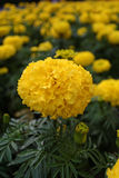 Flores amarelas dos cravos-de-defunto Foto de Stock Royalty Free