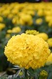 Flores amarelas dos cravos-de-defunto Imagens de Stock Royalty Free