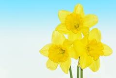 Flores amarelas dos daffodils Fotografia de Stock Royalty Free