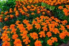Flores amarelas e alaranjadas do cravo-de-defunto em uns potenci?metros para a venda na exposi??o do mercado do jardim imagens de stock royalty free