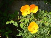 Flores amarelas e alaranjadas em meu jardim imagens de stock royalty free