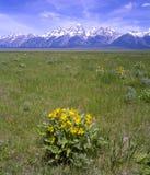 Flores amarelas e as montanhas de Teton Imagem de Stock