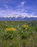Flores amarelas e as montanhas de Teton Fotografia de Stock
