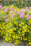 Flores amarelas e cor-de-rosa nos plantadores de suspensão #1 Fotos de Stock Royalty Free