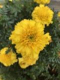 Flores amarelas e folha verde Fotografia de Stock Royalty Free