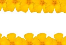 flores amarelas e fundo branco Imagem de Stock