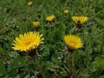 Flores amarelas e fundo verde da natureza Foto de Stock
