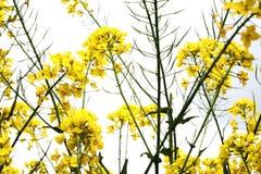 Flores amarelas e hastes verdes Foto de Stock Royalty Free