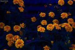 Flores amarelas e hora azul foto de stock